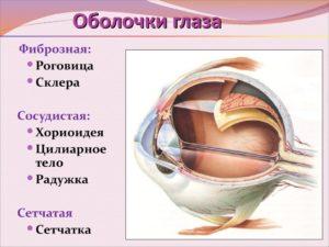Фиброзная оболочка глаза