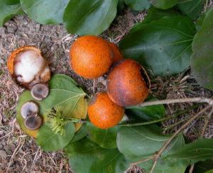 Nux vomica (Рвотный орех)
