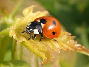 Coccinella septempunctata (Божья коровка)