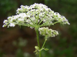 Conium maculatum (Болиголов) (продолжение...)
