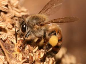 Apis Mellifica (Пчелиный яд)