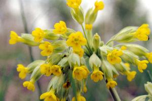 Primula veris (Первоцвет весенний)