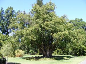 Коричник камфорный, или камфорное дерево