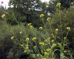 Sinapis nigra - brassica nigra (Черная горчица)