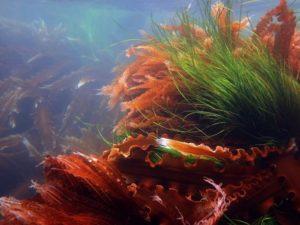 Морские водоросли