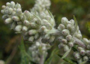 Artemisia vulgaris (Полынь обыкновенная)