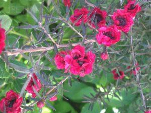 Манука (Лептоспермум метельчатый), как лечебный аромат