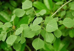 Populus tremuloides (Осина)