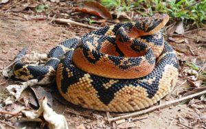 Lachesis (Яд змеи сурукуку (Южная Америка)