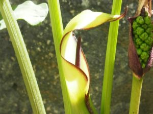 Arum triphyllum (Аронник трехлистный)