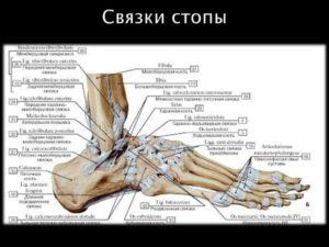 Связки и сухожилия стопы