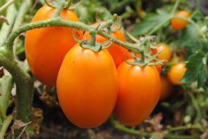 Solanum lycopersicum - lycopersicum esculentum (Помидор)