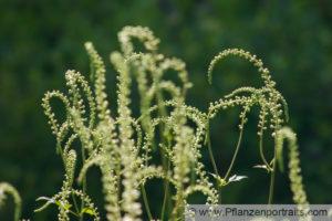 Cimicifuga racemosa (actea racemosa) (Черный змеиный корень) (продолжение...)