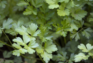 Petroselinum (Петрушка)