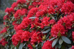 Rhododendron (Рододендрон золотистый)