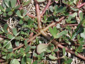 Lachnantes (Душистый сорняк)