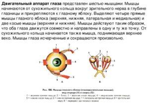 Двигательная и чувствительная иннервация глаза и его вспомогательных органов