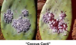 Coccus cacti (Мексиканская кошениль)