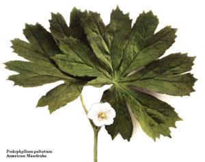 Podophyllum (Ноголистник щитовидный)