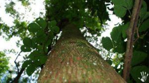 Бальзамовое дерево перуанское
