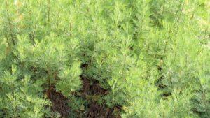 Abrotanum (Кустарниковая полынь)