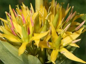 Gentiana lutea (Генциана желтая)