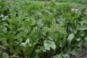 Cochlearia armoracia - armoracia sativa (Хрен)