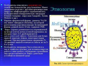Семейство аренавирусов: Вирус лимфоцитарного хориоменингита (ЛХМ)