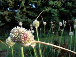 Allium sativum (Чеснок)