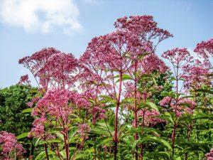 Eupatorium purpureum (Посконник пурпурный)