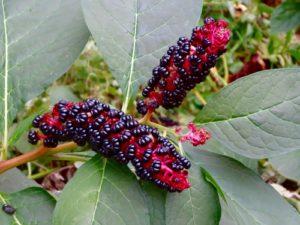 Phytolacca (Лаконос американский)