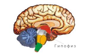 Pituitary gland (Гипофиз)