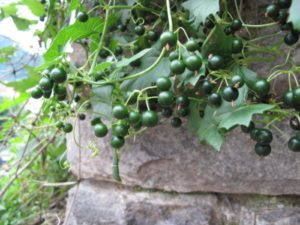 Bryonia Alba (Переступень белый)