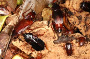 Blatta orientalis (Обычный черный таракан)