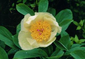 Paeonia (Пион аптечный)