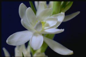 Эфирное масло туберозы (Polianthus tuberosa)