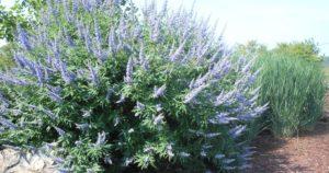 Agnus castus (Авраамово дерево)