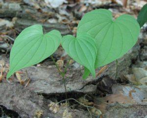 Dioscorea villosa (Дикий ямс)
