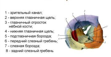 Глазница (Orbita) и ее содержимое
