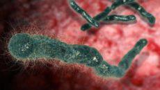 Бациллы сибирской язвы