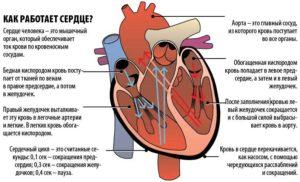 Узнайте, как работает сердце