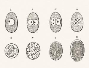 замедленное деление эмбриона