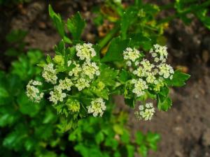 Apium graveolens (Cельдерей обычный)