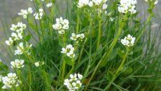 Ложечная трава лекарственная