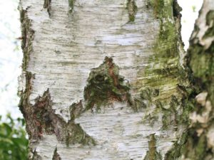Эфирное масло березы (Betula pendula) - кора