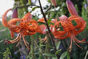 Lilium tigrinum (Лилия полосатая)