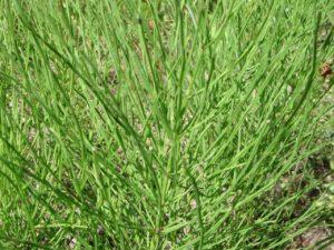 Equisetum (Хвощ зимующий)
