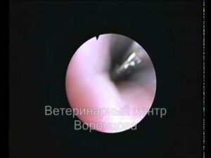 черви в уретре