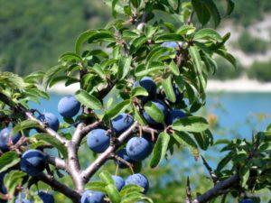 Prunus spinosa (Терн)